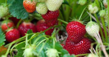 greenopia-strawberry